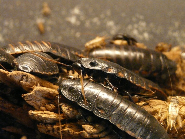giant-hissing-cockroach-77069_640